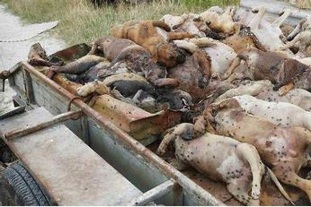 rzeź psów Ukraina3