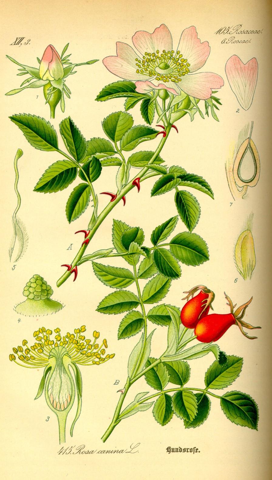 Dzika róża (Rosa canina). Grafika: Prof. dr Otto Wilhelm Thomé, Flora von Deutschland, Österreich und der Schweiz, 1885, Gera, Niemcy